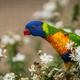 Colourful parrot Rainbow called Lorikeet - PhotoDune Item for Sale