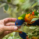Man giving sweet nectar to Lorikeet Rainbow parrot - PhotoDune Item for Sale