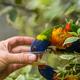 Man giving sweet nectar to Lorikeet Rainbow parrot - PhotoDune Item for Sale