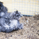 Resting Silkie Chick - PhotoDune Item for Sale