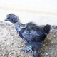 Cute Blue Silkie Chick in - PhotoDune Item for Sale