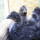 Silkie Chicks - PhotoDune Item for Sale