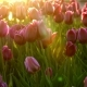 Purple Flowers Tulips on the City Flowerbed Swaying From Light Wind. The Rays of the Setting Sun - VideoHive Item for Sale