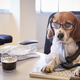 Beagle Dressed As Businessman At Desk Taking Phone Call - PhotoDune Item for Sale