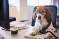 Beagle Dressed As Businessman At Desk Taking Phone Call