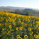 Summer landscape in Marches (Italy) near Filottrano - PhotoDune Item for Sale