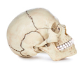 Human skull isolated on white background with clipping path. - PhotoDune Item for Sale