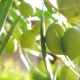 Olive Tree in the Garden, View on Sunny Day - VideoHive Item for Sale