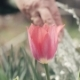 Hand Elderly Woman While Watering Flowering Tulip on Flowerbed in Garden - VideoHive Item for Sale