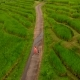 Aerial Shot of a Young Woman and Her Son Walking Along Beautiful Rice Terraces on the Bali Island - VideoHive Item for Sale