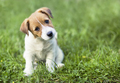Jack Russell terrier puppy looking to the camera - PhotoDune Item for Sale