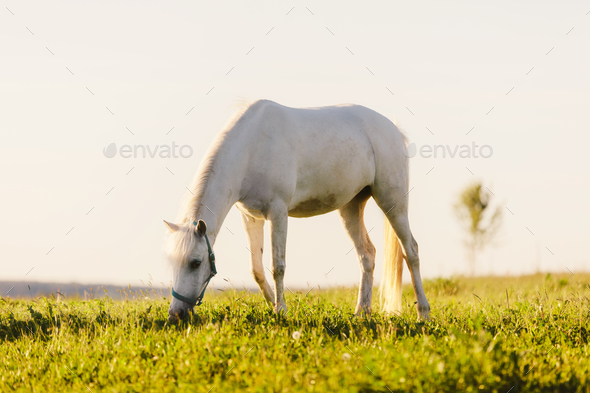 Young white horse eating grass from a field. - Stock Photo - Images