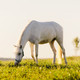 Young white horse eating grass from a field. - PhotoDune Item for Sale