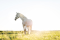 Lonely white horse standing on the grass field in the sunset. - PhotoDune Item for Sale