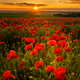 Poppy field - PhotoDune Item for Sale