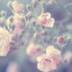 Pastel rose background - PhotoDune Item for Sale