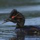 Black-necked grebe (Podiceps nigricollis) - PhotoDune Item for Sale