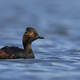 Black-necked grebe (Podiceps nigricollis) - PhotoDune Item for Sale