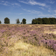 Flowering heathland Hoge Veluwe - PhotoDune Item for Sale