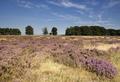Flowering heathland Hoge Veluwe