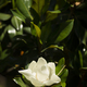 Detail of southern magnolia flower. - PhotoDune Item for Sale