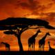 Inspiring African Marimbas