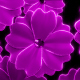 Abstract Flowers Falling Loop - VideoHive Item for Sale