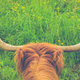Highland Cow Horns - PhotoDune Item for Sale