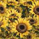 SunFlower Explosion Transition - VideoHive Item for Sale