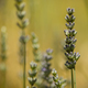 Lavander blue flowers close up - PhotoDune Item for Sale
