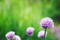 Chives flower - PhotoDune Item for Sale