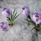 Snow Melting and Crocus Flower Blooming in Spring - VideoHive Item for Sale