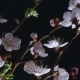 Flowering Apricot Flowers - VideoHive Item for Sale