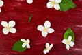 Pattern with jasmine flowers