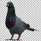 Pigeon Looking Around - VideoHive Item for Sale