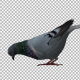 Pigeon Eat - VideoHive Item for Sale