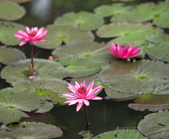 A blooming lotus flower - Stock Photo - Images