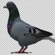 Pigeon Look - VideoHive Item for Sale