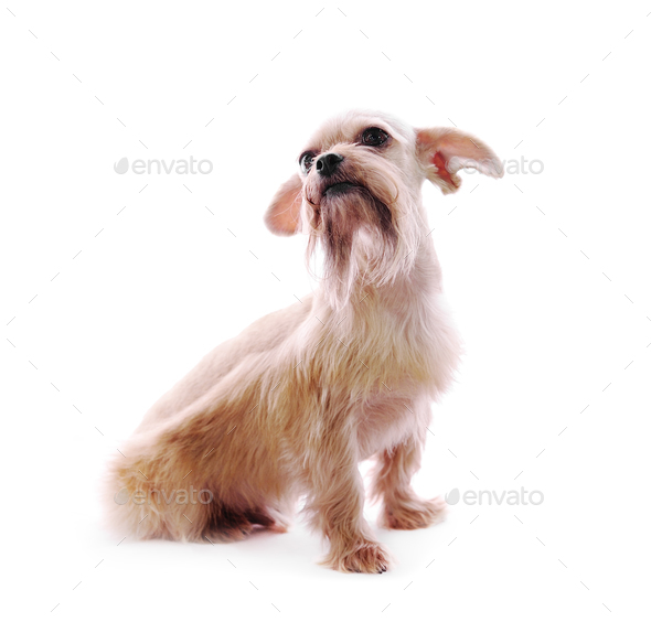 Shih Tzu dog in studio on a white background - Stock Photo - Images