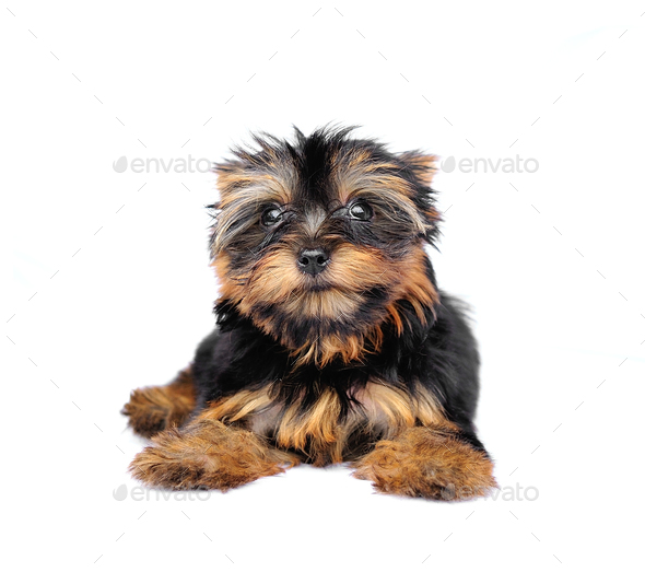 Yorkshire Terrier (2 months) in front of a white background - Stock Photo - Images