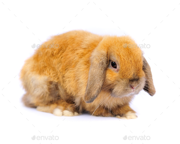 Lop rabbit on white background - Stock Photo - Images
