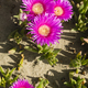 Plants and flowers of Hottentot fig on sand beach in Italy. - PhotoDune Item for Sale