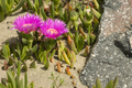 Plants and flowers of Hottentot fig on sand beach in Italy.