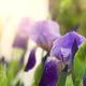 Iris - PhotoDune Item for Sale