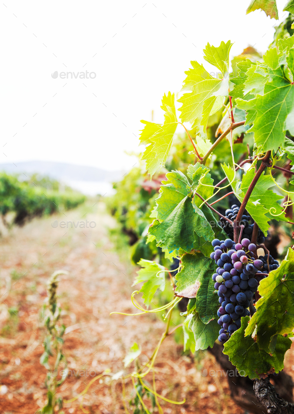 Vineyard - Stock Photo - Images