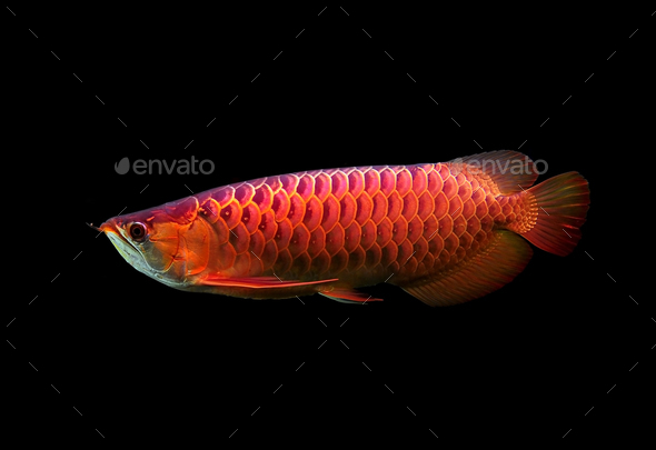 Asian Arowana fish on black background. - Stock Photo - Images
