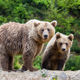 Brown mother bear protecting her cub in a forest - PhotoDune Item for Sale