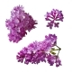 Vector Set of Branches of Purple Lilac Flowers - GraphicRiver Item for Sale
