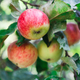 Red ripe apple on branch closeup of tree in garden - PhotoDune Item for Sale