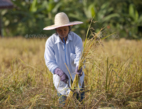 farmer in field, it's harvest time - Stock Photo - Images